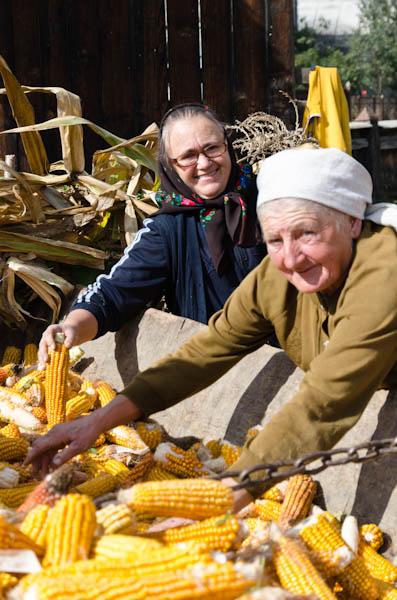 Mise à l'abri du maïs qui servira de fourrage aux animaux pendant l'hiver