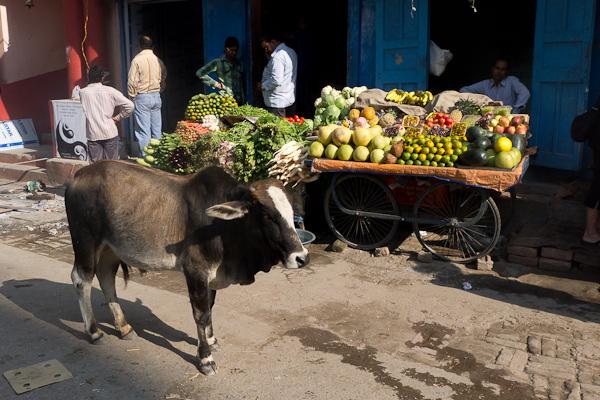 Pour les vaches, c'est plus simple: elles sont prioritaires quoi qu'il arrive!