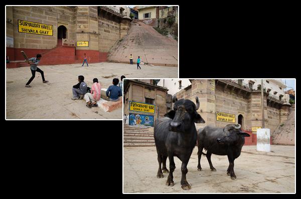 Partie de cricket écourtée, les vaches sont de retour!