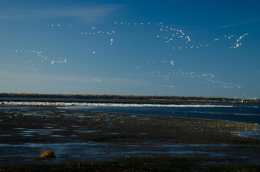 A la tombée du jour, d'immenses escadrons d'oies nous montrent le chemin. Cap plein sud, avant de retrouver le Vieux Continent