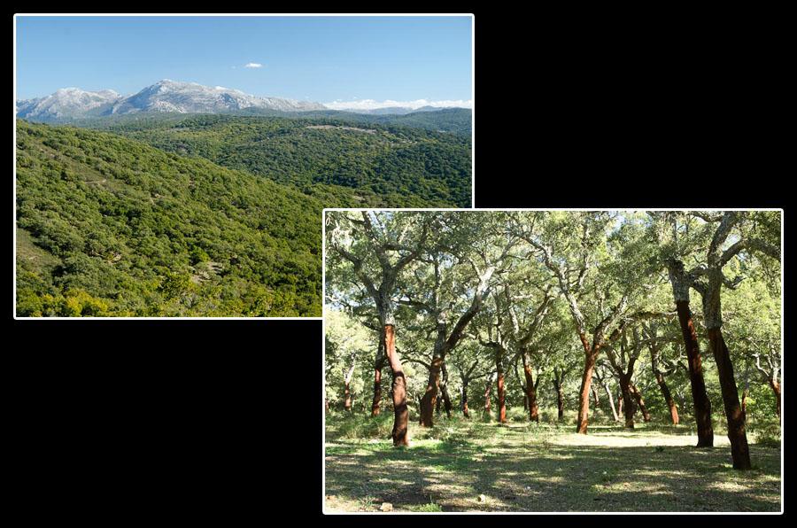 A travers les forêts de chênes-liège, dans le parc naturel de Los Alcornocales. Mais qui sont ces créatures étranges qui s'attaquent à l'écorce des arbres?
