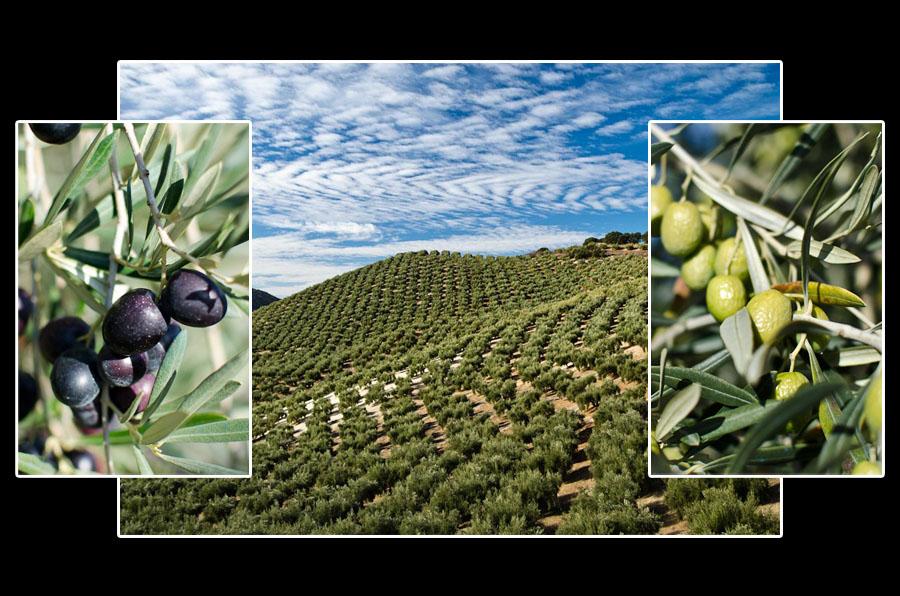 Et vous, vous êtes plutôt olives vertes ou olives noires?